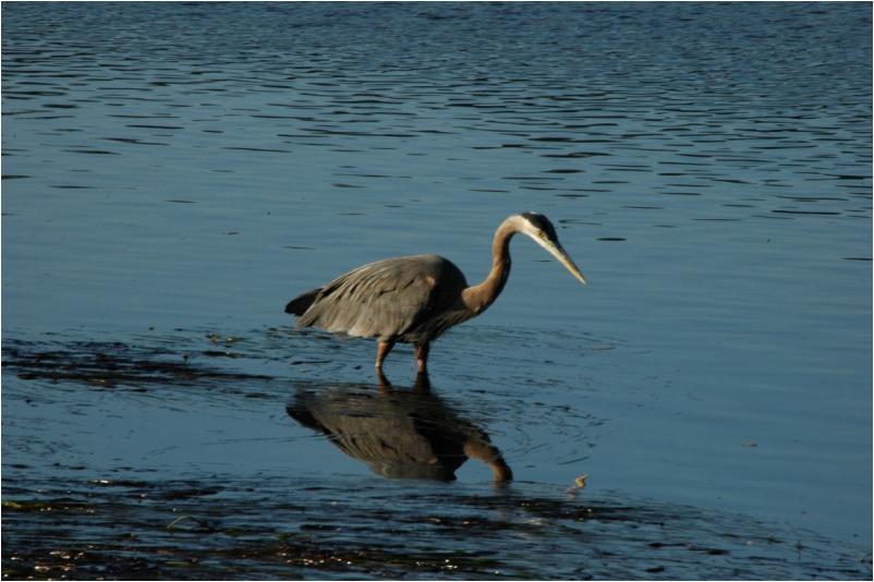 Blue heron at river's edge