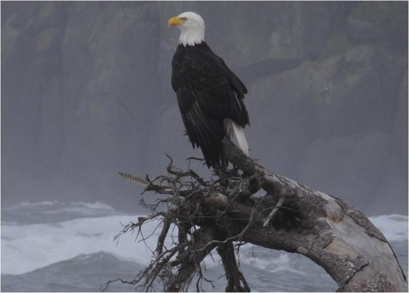Bald Eagle - Westwind hosts at least two nesting pairs