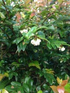 evergreen huckleberry_1