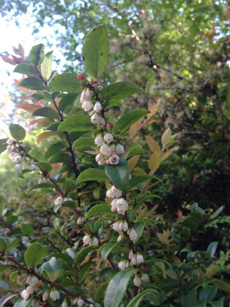 evergreen huckleberry_2
